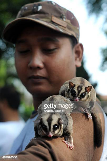 The member of Sugar Glider Community carry their pets during gathering in Surakarta Central Java Indonesia on March 29 2015 The sugar glider is a...