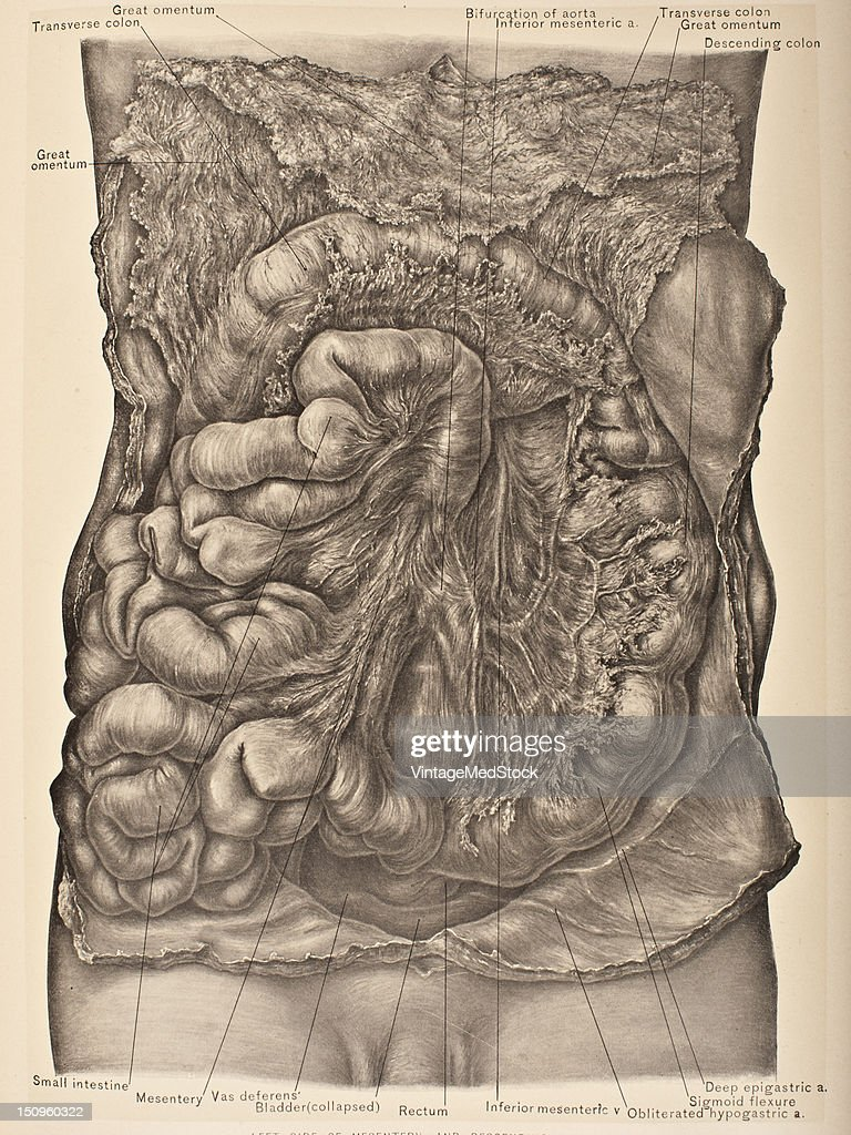 The Mesentery is the fanshaped suspensory ligament of the jejunum and ileum or all of the small intestine except the upper ten to twelve inches 1903...