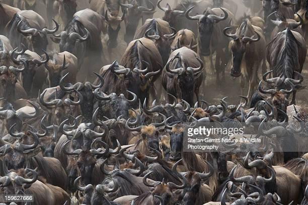 The Migration of Wildebeest
