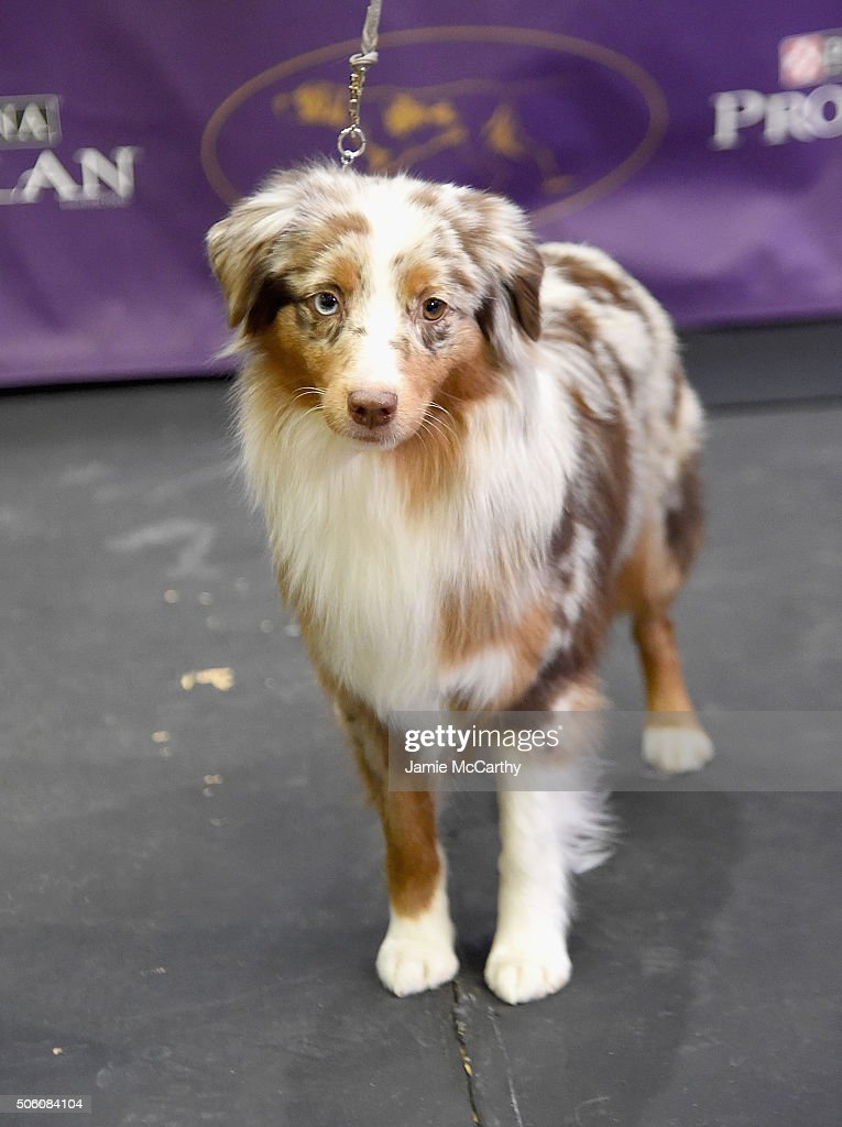 The Miniature American Shepherd breed debuts at 140th Annual Westminster Kennel Club Dog Show Meet The New Breeds at Madison Square Garden on January...
