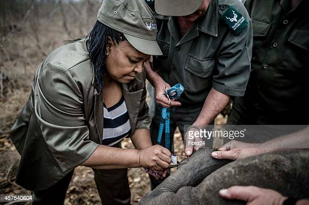 The Minister of Environmental Affairs Edna Molewa helps SANParks staff sedate a rhino on October 16 2014 in the Kruger National Park South Africa...
