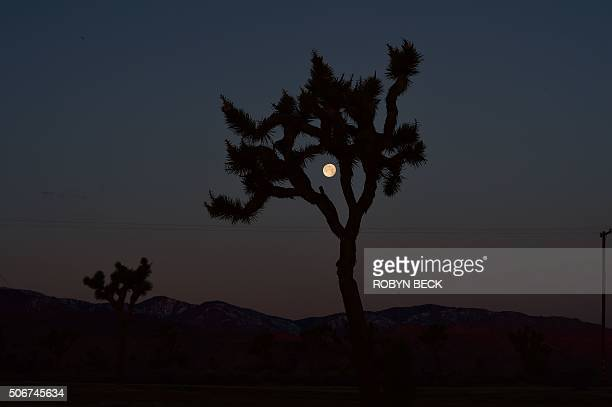 The moon is seen through a Joshua Tree before dawn in Pioneertown California in the Mojave Desert January 25 2016 Pioneertown an Old West town built...