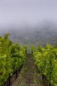 The morning fog slowly burns off in a Sonoma Mountain pinot noir vineyard on August 9 near Santa Rosa California Warm summer temperatures and a dry...