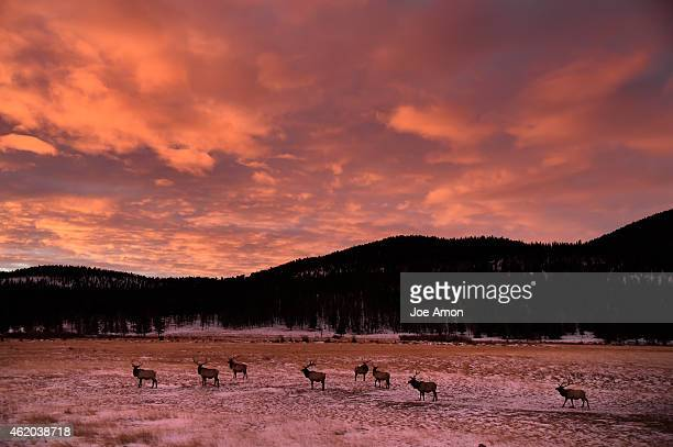 The morning is red and orange over the elk in Horseshoe Park in the Rocky Mountain National Park January 23 2015 Estes Park CO