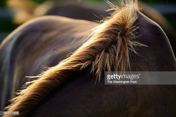 The morning sun shines on the mane of a feral horse at the Assateague Island National Seashore in Berlin MD on August 20 2013
