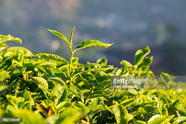 The most precious leaf is sticking out of green tea bushes situated around 1600 m above sea level in the Western Ghats