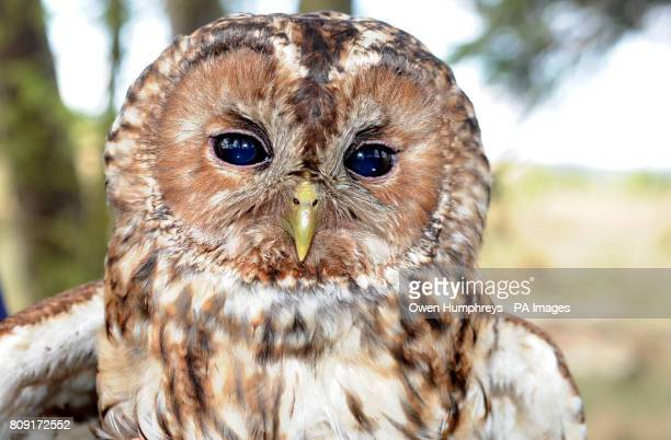 The mother of a group Tawny owl chicks who are being measured tagged and weighed as part of a 30 year conservation program to increase the tawny owl...