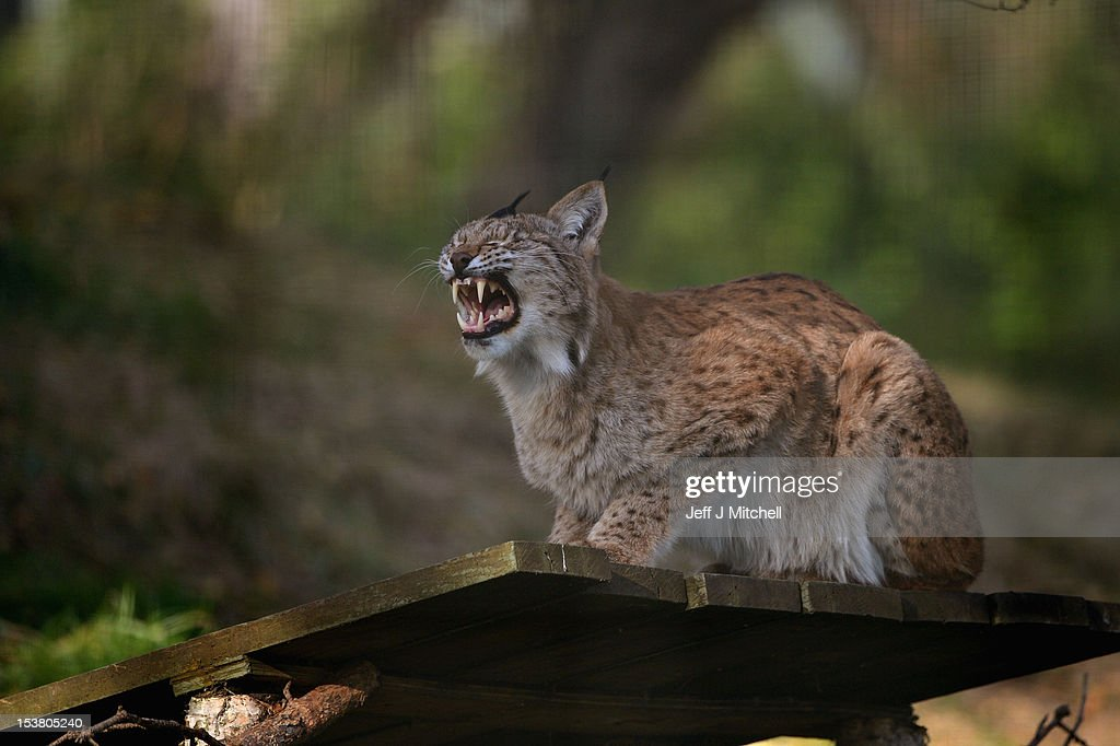 The mother of two Northern Lynx kittens yawns as they explore their enclosure at the Highland Wildlife park on October 9, 2012 in Kingussie, Scotland. The feline twins are believed to be the type of lynx found historically in Scotland. The Highland Wildlife Park specialises in Scottish animal species, both past and present, and species that are well adapted to cold weather.
