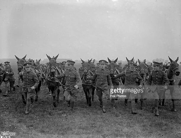 The Mounted Pack Battery of mules from Nelson Barracks in Norwich in training for the Royal Tournament