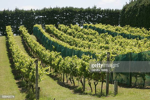 The Mudbrick vineyard on Waiheke Island January 14 2005