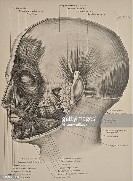 The muscles of the face are divided into three groups those of the nose those of the eyeborws and eyelids and those of the mouth 1899 From 'The...