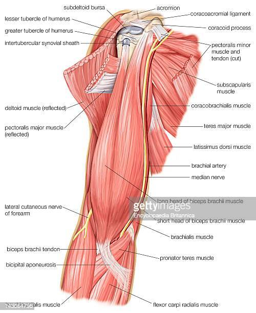 The Muscles Of The Human Upper Arm As Well As The Cutaneous Nerve And Median Nerve