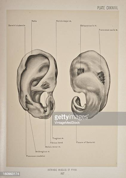 The muscles proper of the pinna which extend from one part of the cartilage to another are six in number 1899 From 'The Treatise of the Human Anatomy...