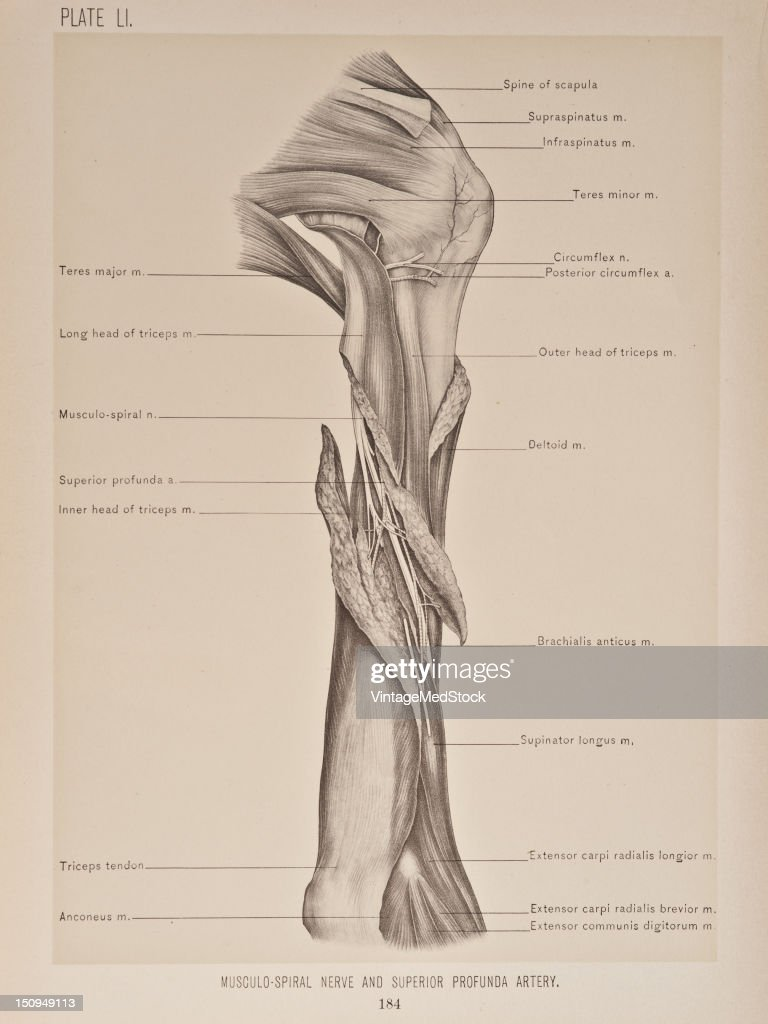 The musculospiral nerve is the best observed on the back of the arm after division of the long and external heads of the triceps muscles over the...