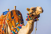 The muzzle of the African camel close-up