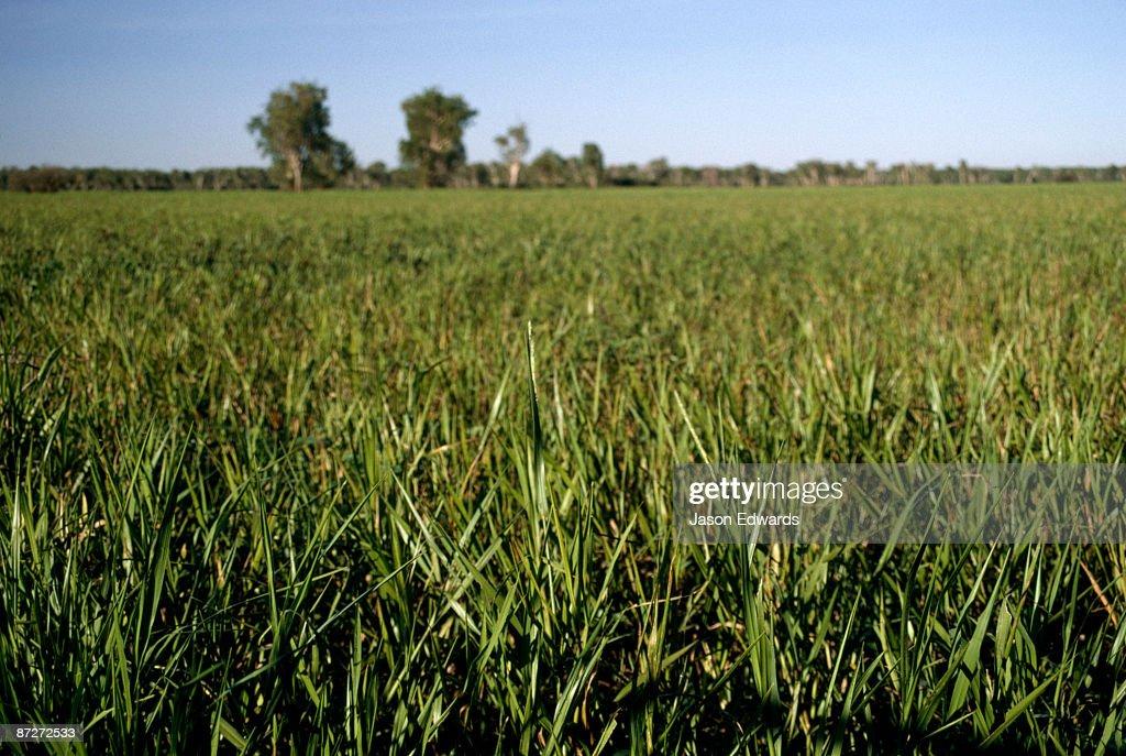 The native grass, Hymenachne acutigluma, dominating a wetland plain. : Stock Photo