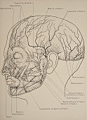 The nerves of the scalp are branches of the trifacial 1899 From 'The Treatise of the Human Anatomy and Its Applications to the Practice of Medicine...