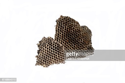 The nest of wasps with honey in the honeycomb cells : Stock Photo