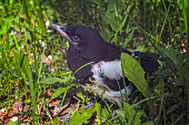 The nestling of the European magpie sits in the midst of thick green grass. Magpie Pica pica sitting on a meadow.
