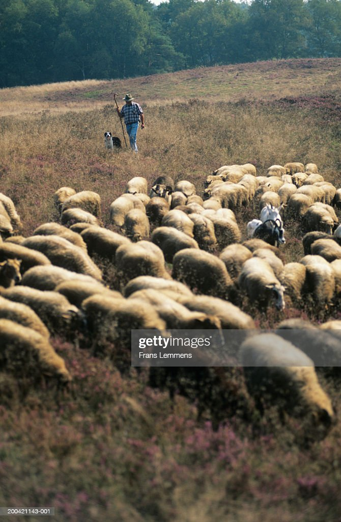 The Netherlands, Exloo, Drenthe, farmer herding sheep with dog
