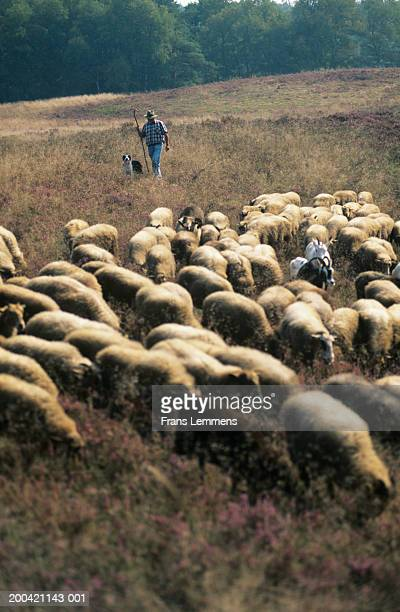 The Netherlands, Exloo, Drenthe, farmer herding sheep with dog