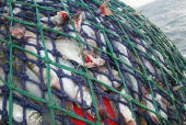The nets brimming with fish are hauled onto the Scottish trawler Carina some 70 miles off the North coast of Scotland in The North Atlantic on March...