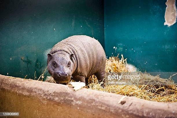 The new edition to the Johannesburg Zoo a 13 month old pygmy hippopotamus is photographed at the Zoo on August 11 2011 in Johannesburg South Africa