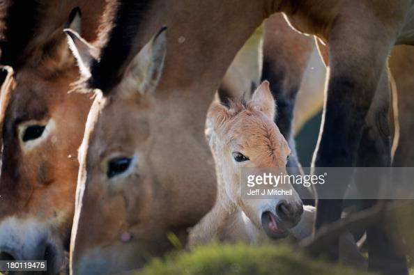 The new Przewalski foal is welcomed into the Highland Wildlife Park on September 9 2013 in Kingussie Scotland The foal born on the 2nd September is...
