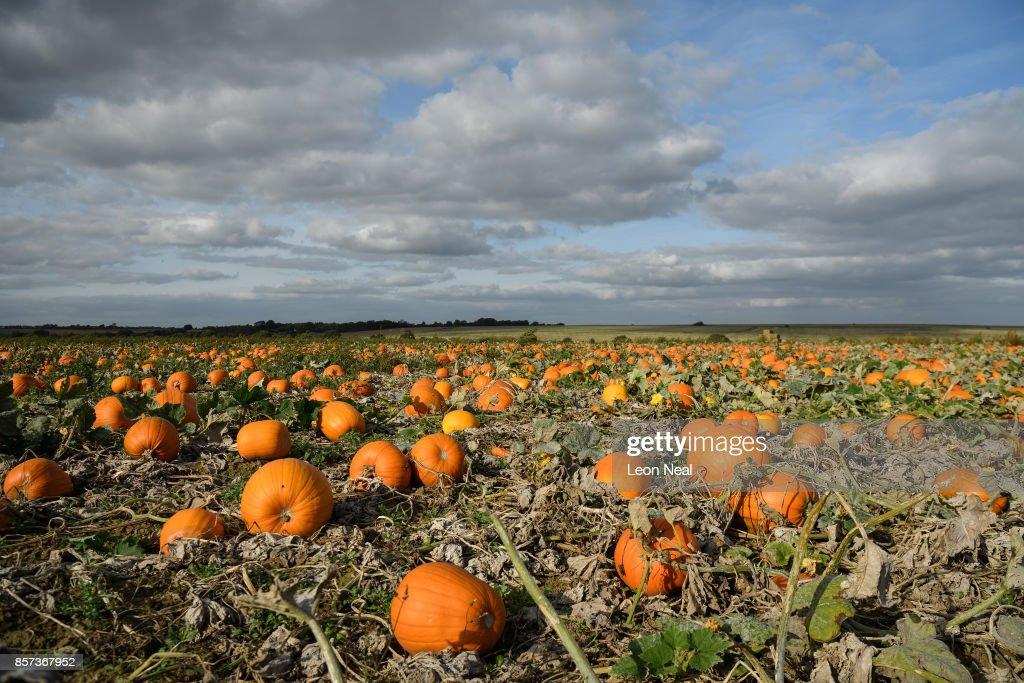 the new pumpkin crop is seen in the field at pyo pumpkins on october - Growing Halloween Pumpkins