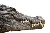 Nile crocodile Crocodylus niloticus, close-up detail of teeth of the Nile crocodile closed eye, Sharpened teeth of dangerous predator, isolated white background,