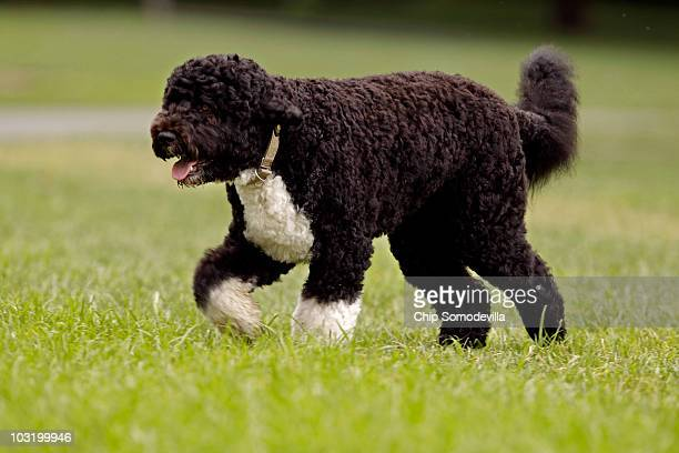 The Obama family dog a Portuguese water dog named Bo trots across the South Lawn August 2 2010 in Washington DC Bo was out for a walk before...