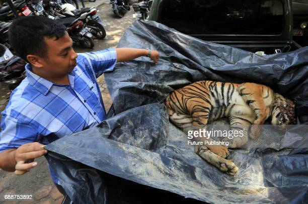 The officer of BBKSDA noticed that the Sumatran tiger cub is dead which is been treated for his sickness on on May 26 2017 in Sumatra Indonesia Jefta...