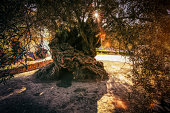 The oldest olive tree in the world, Vouves, Crete