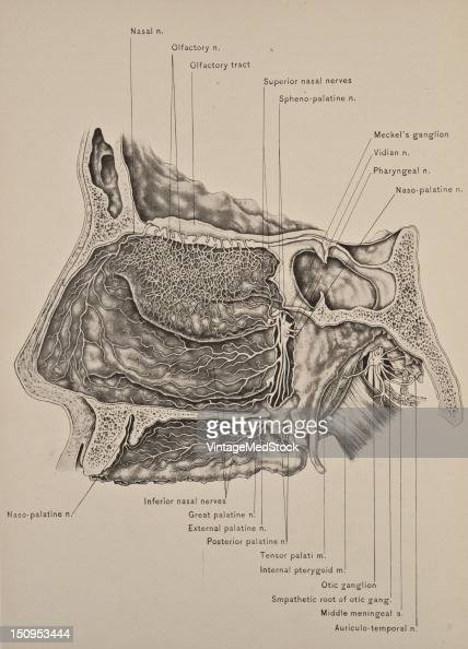 The olfactory nerve or cranial nerve I is the first of twelve cranial nerves 1899 From 'The Treatise of the Human Anatomy and Its Applications to the...