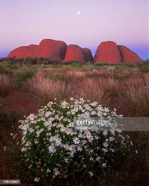 the olgas (kata tjuta), full moon & minnie daisies at dusk, nt, australia