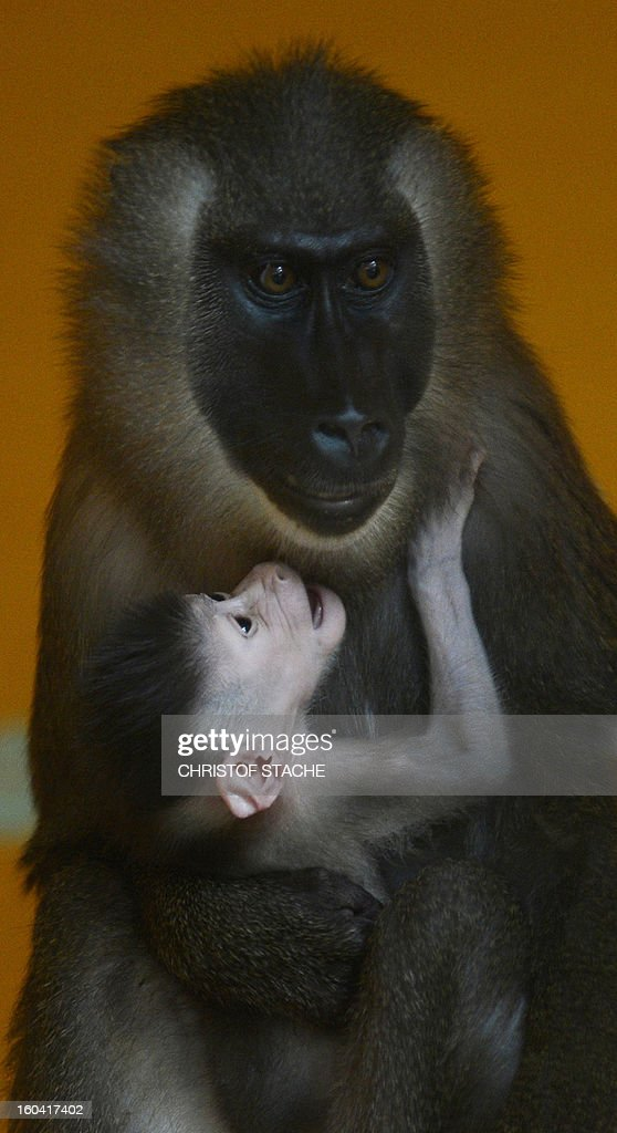 The one week young Drill baby is held by its mother Kaduna in the primate enclosure in the zoo of Munich Hellabrunn, southern Germany, on January 31, 2013. The Drill monkey baby was born in the zoo on January 24, 2013. The Drill's are in danger of extinction in Africa.