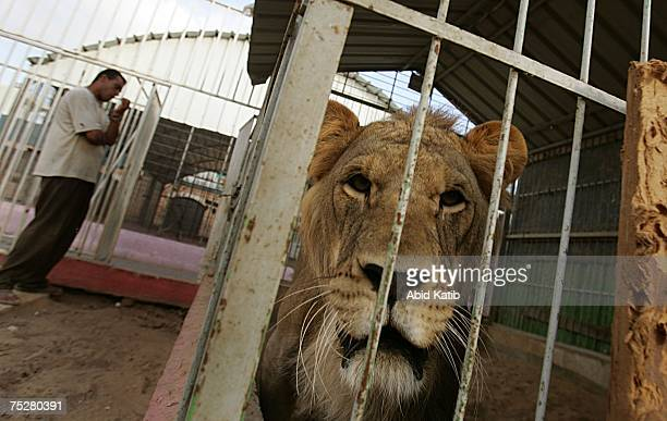 The only lion in Gaza strip Sakher looks out of his cage after members of Hasaneen family one of the biggest armed families in Gaza Strip returned a...
