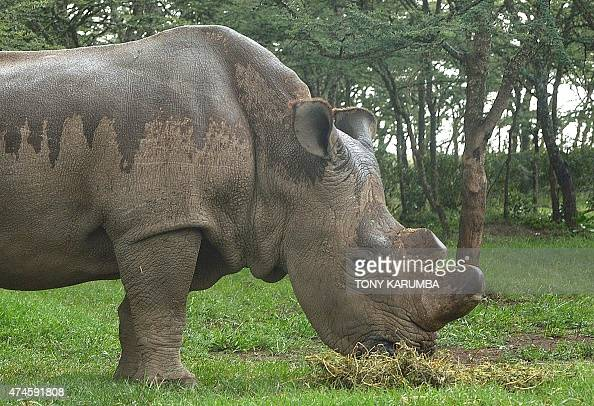 The only remaining male northernwhite Rhino on the planet 'sudan' is seen on May 23 2015 at the olPejeta sanctuary in Kenya's Mt Kenya region north...