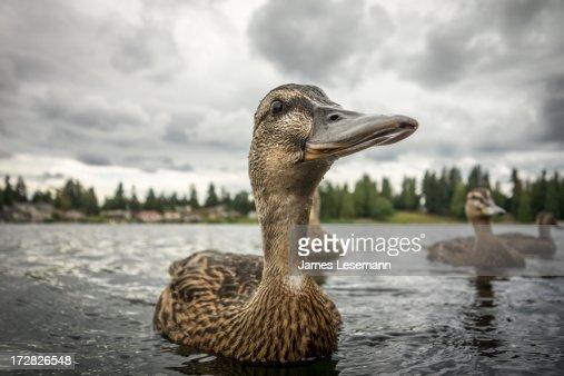 The Optimistic Duck