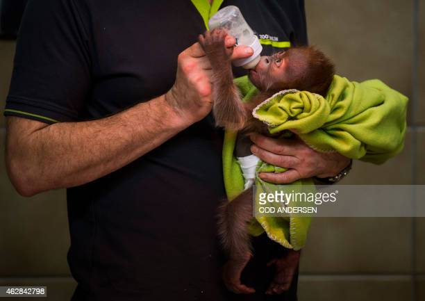 The orangutan cub 'Rieke' is fed by a zoo keeper in Berlin on February 6 2015 The three week old female is reared by staff at the zoo after it's...