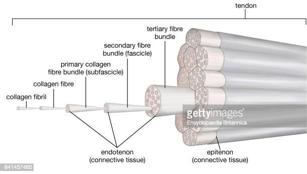 The organization of tendon structure connective tissue