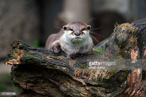 The oriental smallclawed otter Fussi lies on a tree trunk and watches its surroundings in a zoo in Dresden eastern Germany on June 18 2015 Fussi gave...