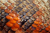 The overlapping leathery scales of a Fiji Boa prevent water loss.