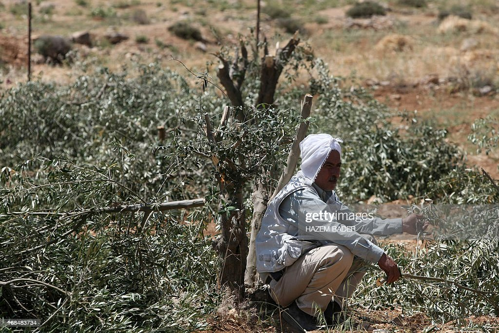 The owner of a olive trees plantation sits near olives trees destroyed by vandals in the village of Al-Tiwana, south of the West Bank city of Hebron on May 10, 2013. Vandals believed to be Jewish extremists have uprooted dozens of olive trees and scrawled graffiti near a Palestinian village in the southern West Bank, police and witnesses said.