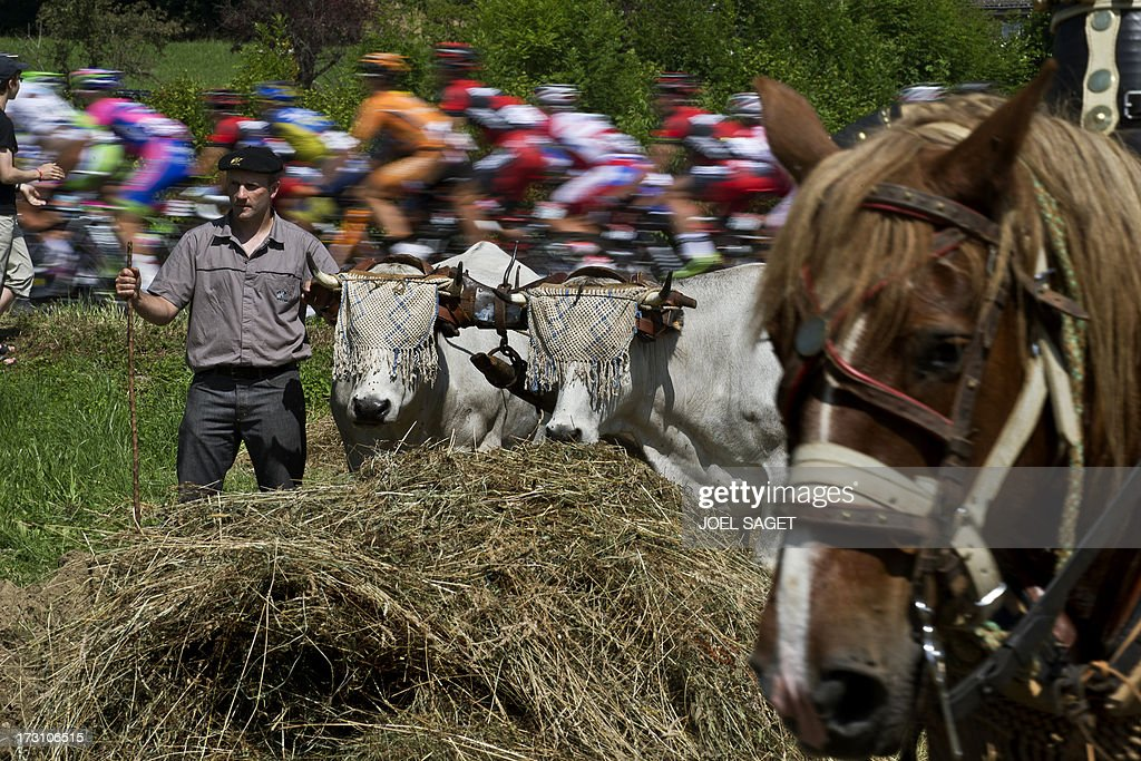 The pack rides behind a farmer with beefs and a horse during the 168.5 km ninth stage of the 100th edition of the Tour de France cycling race on July 7, 2013 between Saint-Girons and Bagnères-de-Bigorre, southwestern France.