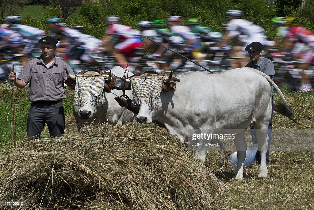 The pack rides behind a farmer with beefs during the 168.5 km ninth stage of the 100th edition of the Tour de France cycling race on July 7, 2013 between Saint-Girons and Bagnères-de-Bigorre, southwestern France.