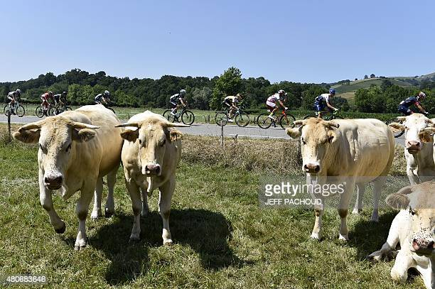 The pack rides behind cows during the 167 km tenth stage of the 102nd edition of the Tour de France cycling race on July 14 between Tarbes and La...