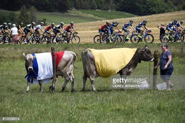 TOPSHOT The pack rides past cows dressed with colors of the French national flag and color of the overall's leader yellow jersey during the 2135 km...
