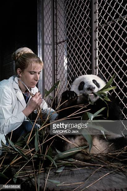 The Pandas Of Vincennes Zoo France Vincennes décembre 1973 Dans sa cage du zoo de Vincennes le panda mâle YENYEN mangeant des feuilles de bambou...