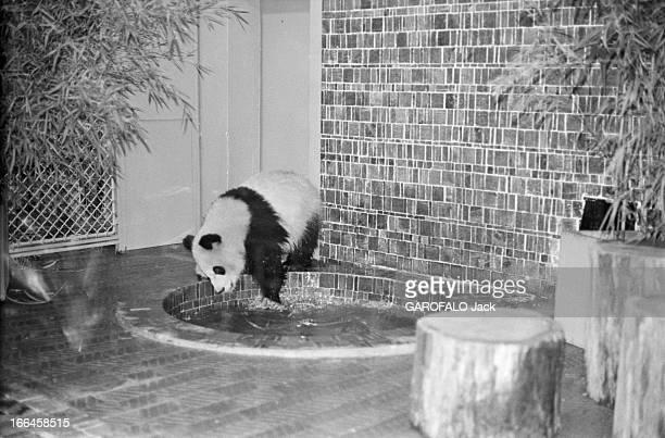 The Pandas Of Vincennes Zoo France Vincennes décembre 1973 la République populaire de Chine a offert au zoo de Vincennes deux spécimens de panda...
